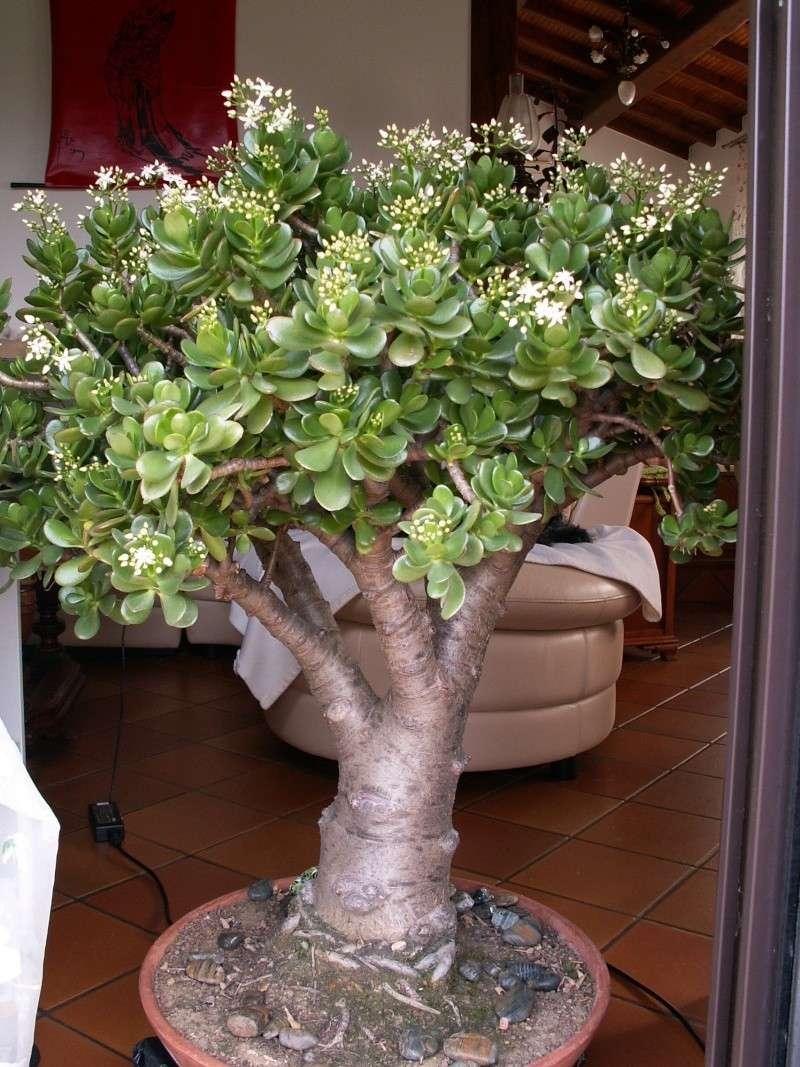 Crassula arborescens ssp. undulatifolia = Crassula arborescens 'Blue Bird' Crassu10