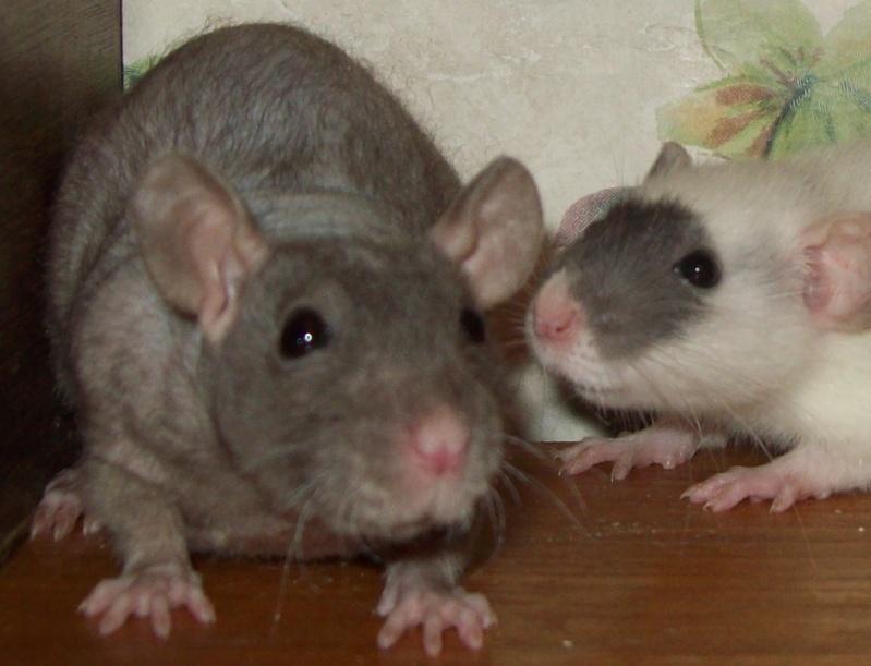 3 Female Hairless Rats 100_8814