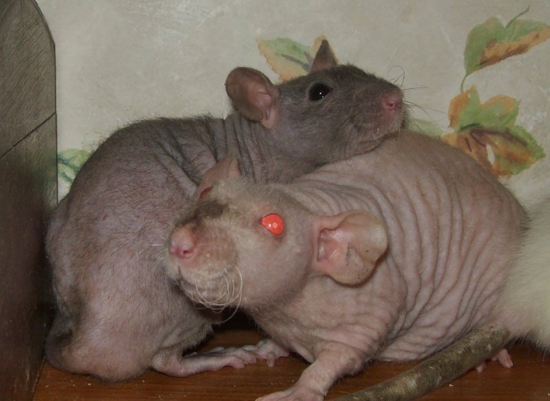 3 Female Hairless Rats 100_8815
