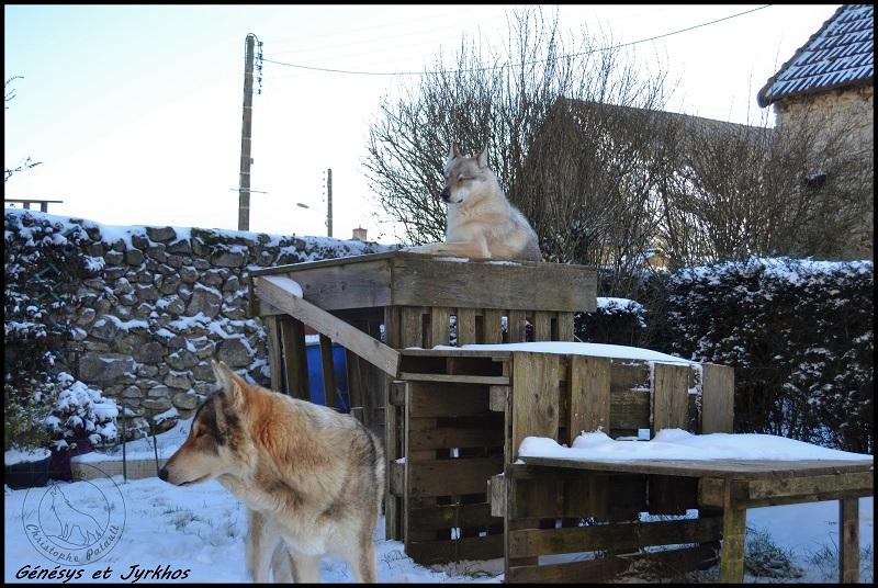 Genesys et Jyrkhos deux chiens loups tchèques  A14