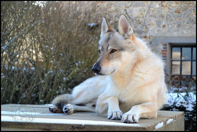 Genesys et Jyrkhos deux chiens loups tchèques  A213