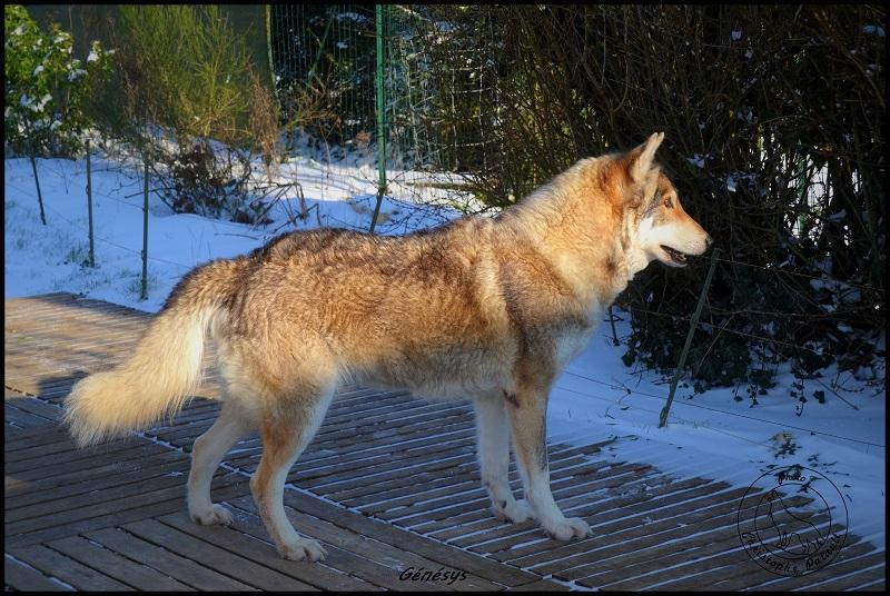 Genesys et Jyrkhos deux chiens loups tchèques  A313