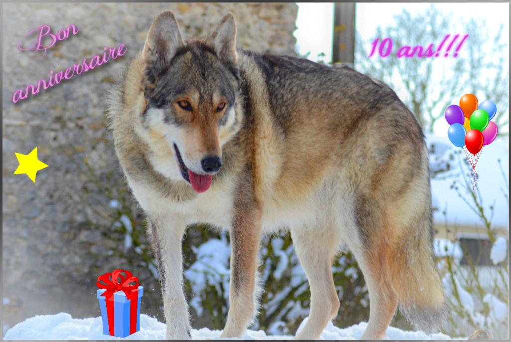 Genesys et Jyrkhos deux chiens loups tchèques  Anniv_11
