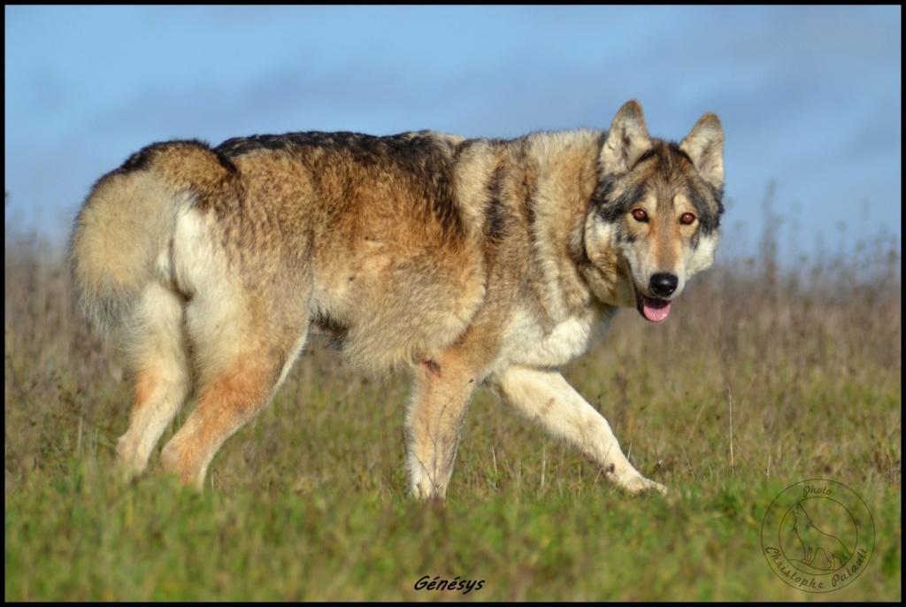 Genesys et Jyrkhos deux chiens loups tchèques  Dsc_0015