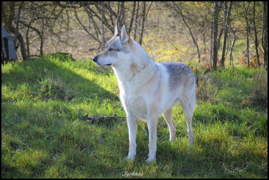 Genesys et Jyrkhos deux chiens loups tchèques  Dsc_0016