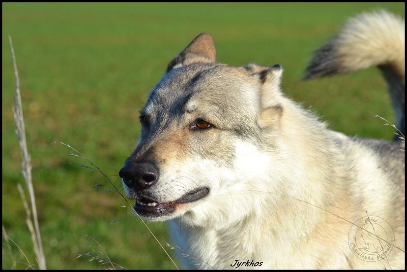 Genesys et Jyrkhos deux chiens loups tchèques  Dsc_0414
