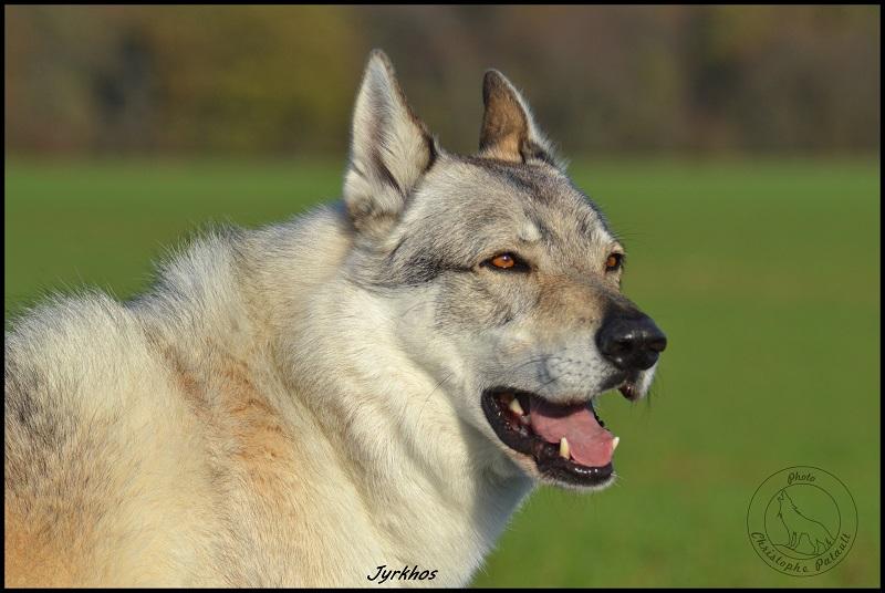 Genesys et Jyrkhos deux chiens loups tchèques  Dsc_0415