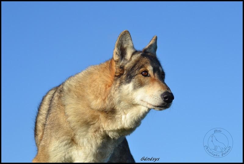 Genesys et Jyrkhos deux chiens loups tchèques  Dsc_0512