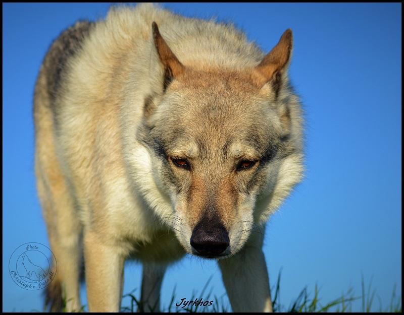 Genesys et Jyrkhos deux chiens loups tchèques  Dsc_0513