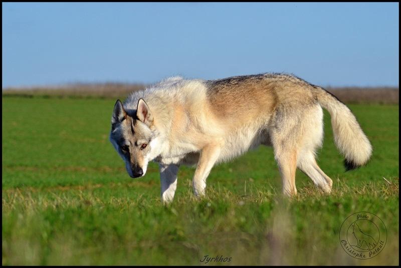 Genesys et Jyrkhos deux chiens loups tchèques  Dsc_0515