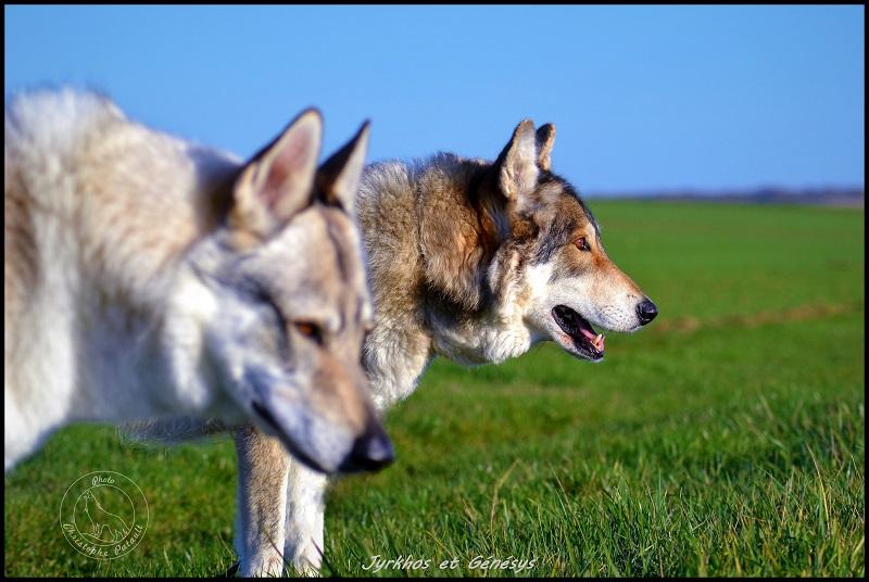 Genesys et Jyrkhos deux chiens loups tchèques  Dsc_0516