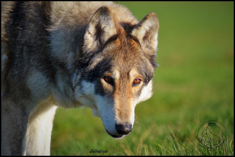 Genesys et Jyrkhos deux chiens loups tchèques  Dsc_0519