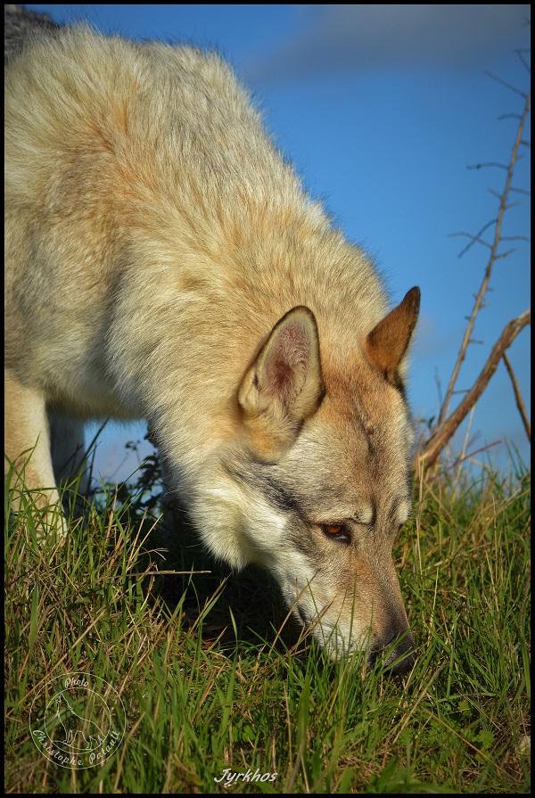 Genesys et Jyrkhos deux chiens loups tchèques  Dsc_0615