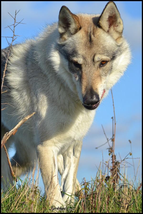 Genesys et Jyrkhos deux chiens loups tchèques  Dsc_0619