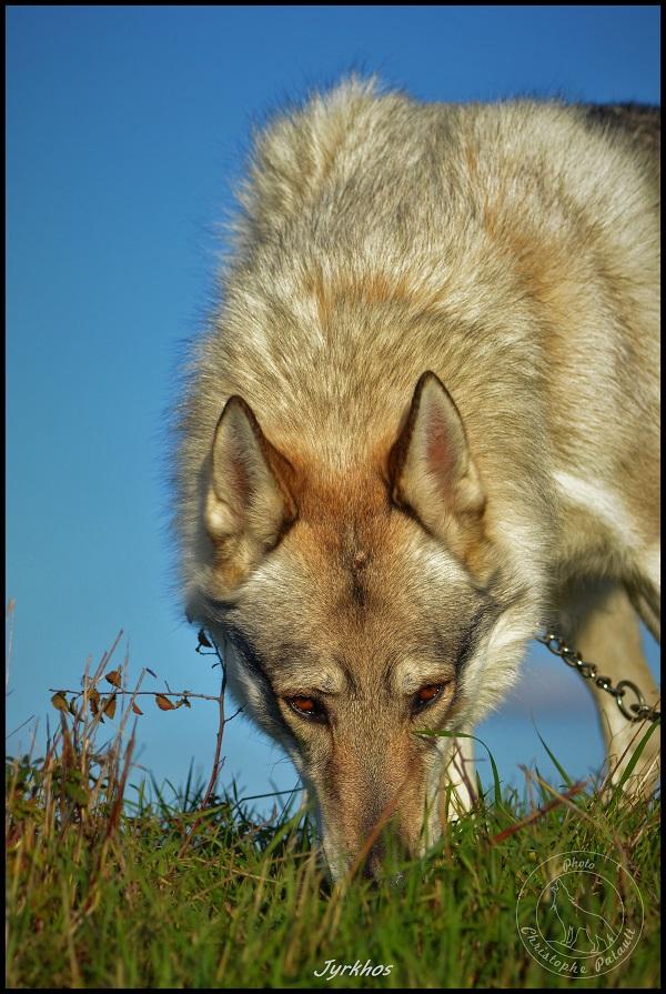 Genesys et Jyrkhos deux chiens loups tchèques  Dsc_0620