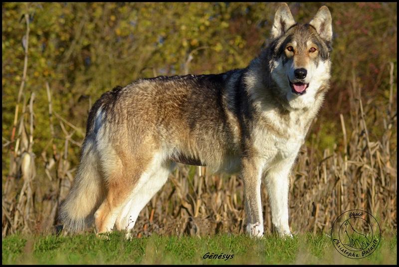 Genesys et Jyrkhos deux chiens loups tchèques  Dsc_0623