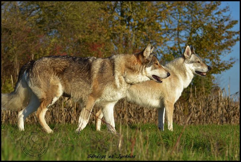 Genesys et Jyrkhos deux chiens loups tchèques  Dsc_0624