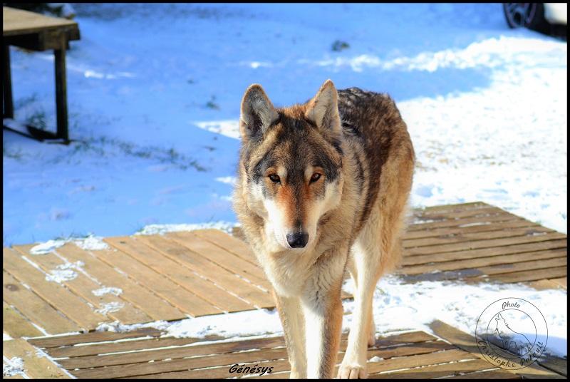 Genesys et Jyrkhos deux chiens loups tchèques  G13