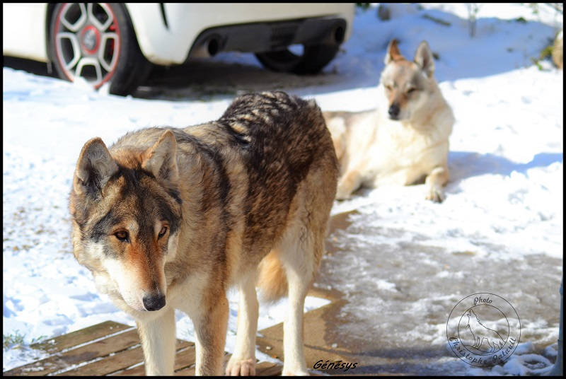 Genesys et Jyrkhos deux chiens loups tchèques  G213