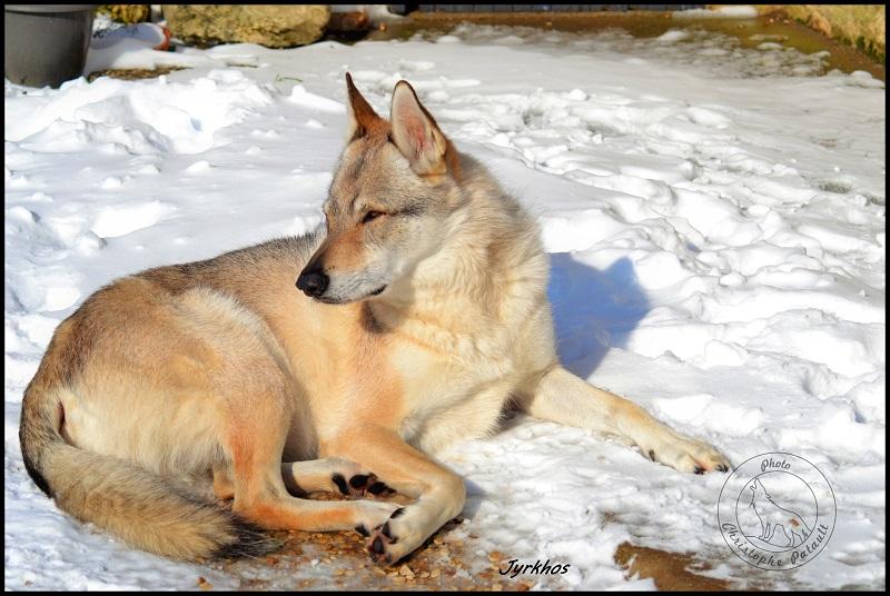 Genesys et Jyrkhos deux chiens loups tchèques  G313