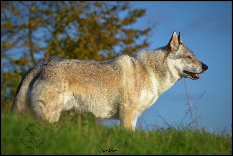 Genesys et Jyrkhos deux chiens loups tchèques  J13