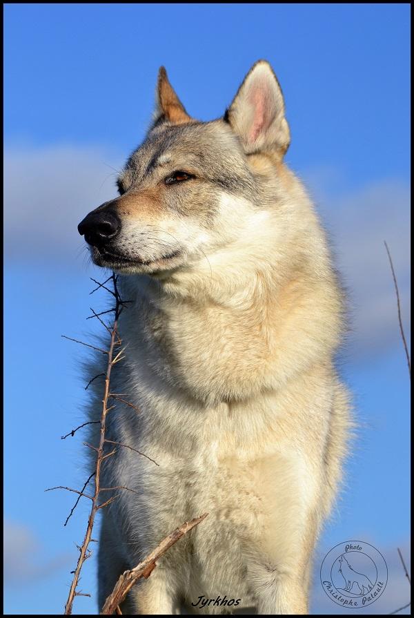 Genesys et Jyrkhos deux chiens loups tchèques  J213