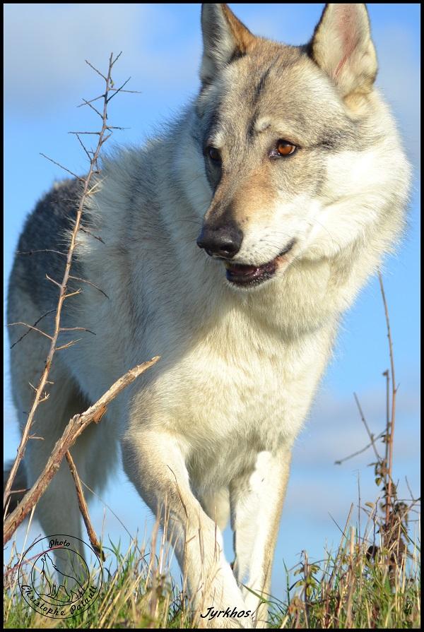 Genesys et Jyrkhos deux chiens loups tchèques  J312