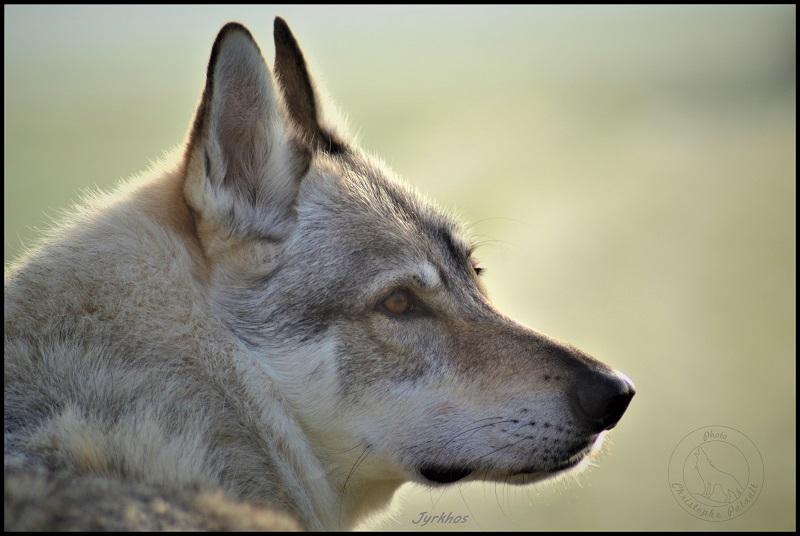 Genesys et Jyrkhos deux chiens loups tchèques  Ll10
