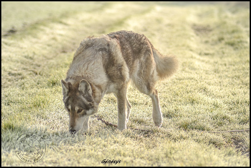 Genesys et Jyrkhos deux chiens loups tchèques  Ll210