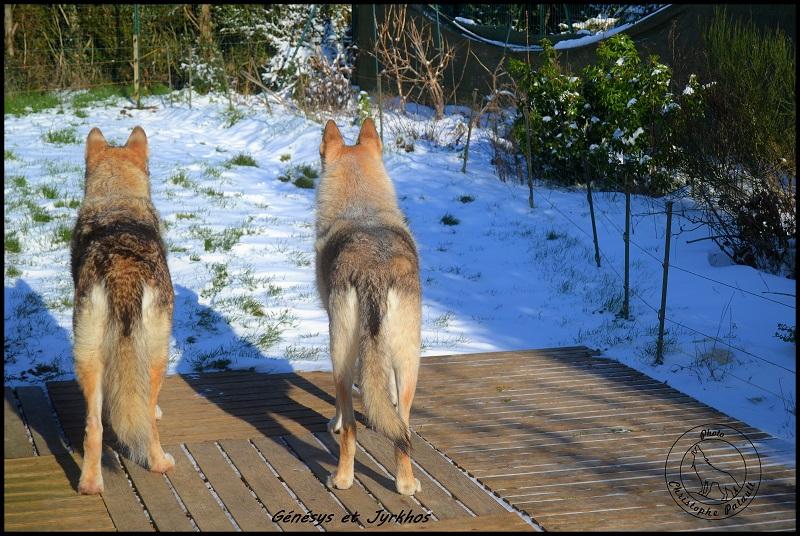 Genesys et Jyrkhos deux chiens loups tchèques  P213