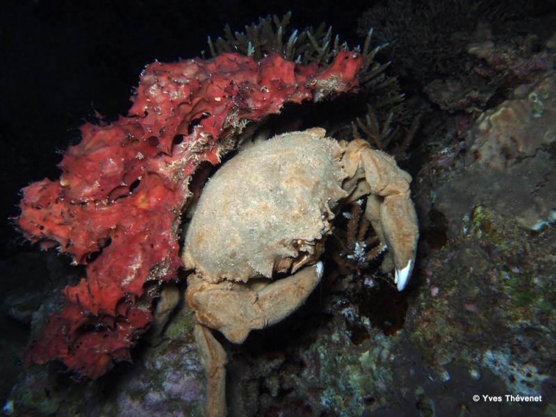Crabe, Dromia dormia Croiss16