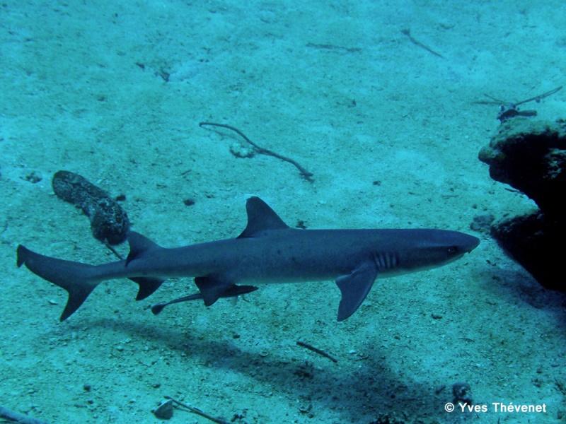 Requin pointes blanches de lagon, Trianodon obesus Goro-215
