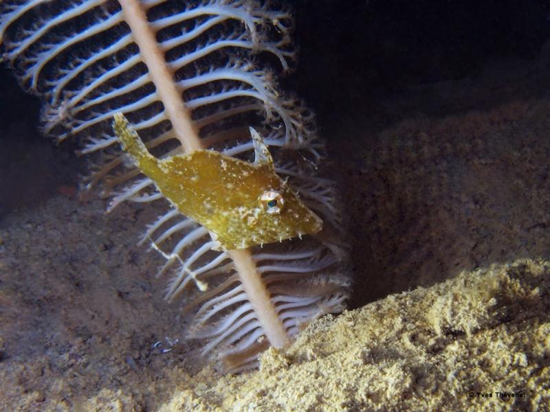 Poisson-lime, Acreichthys tomentosus Nouvil10
