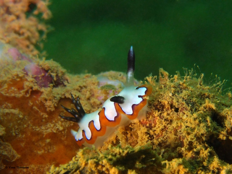 Chromodoris fidelis. Nudibranche.  Ouamo-40