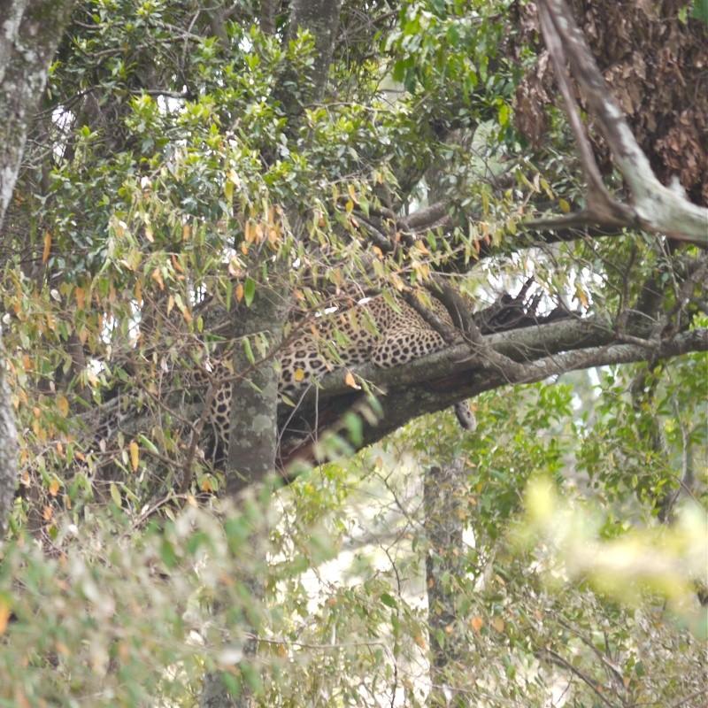 """A leopard's tale (tail)"" part 1: Mara North Conservancy, Kenya Dec. 2012 P1050711"