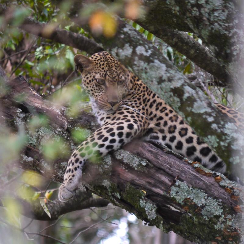 """A leopard's tale (tail)"" part 1: Mara North Conservancy, Kenya Dec. 2012 P1050712"