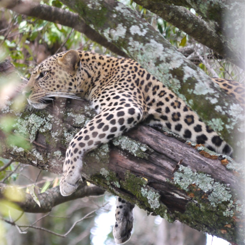 """A leopard's tale (tail)"" part 1: Mara North Conservancy, Kenya Dec. 2012 P1050713"