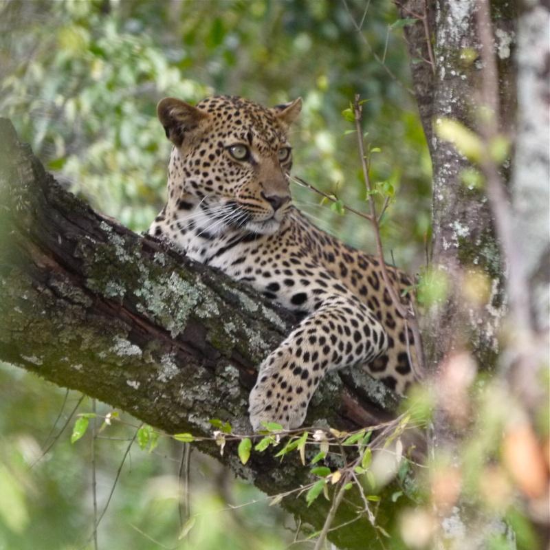 """A leopard's tale (tail)"" part 1: Mara North Conservancy, Kenya Dec. 2012 P1050714"