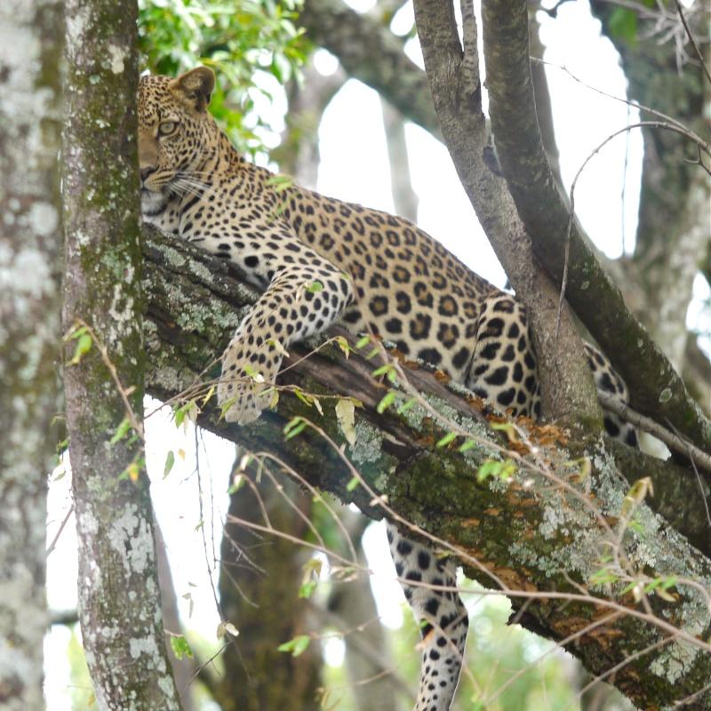 """A leopard's tale (tail)"" part 1: Mara North Conservancy, Kenya Dec. 2012 P1050715"
