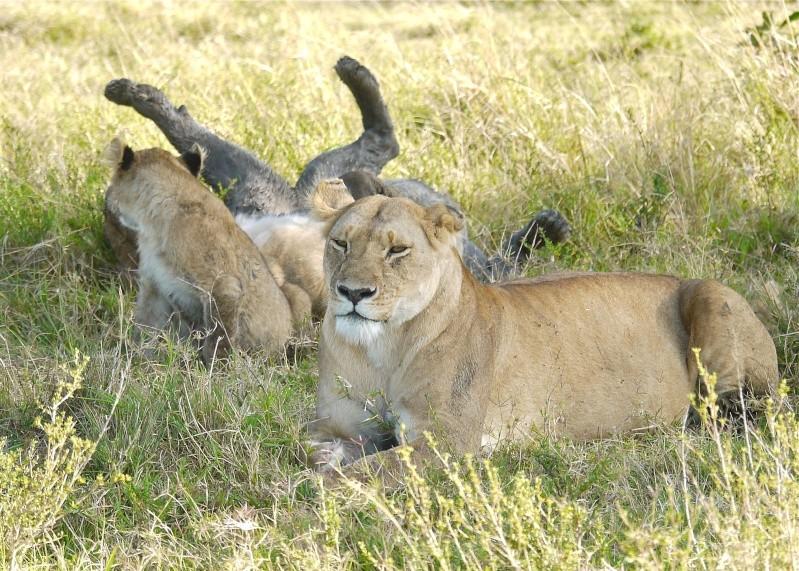 The Marsh Pride, Dec.2012, Masai Mara Kenya P1050911