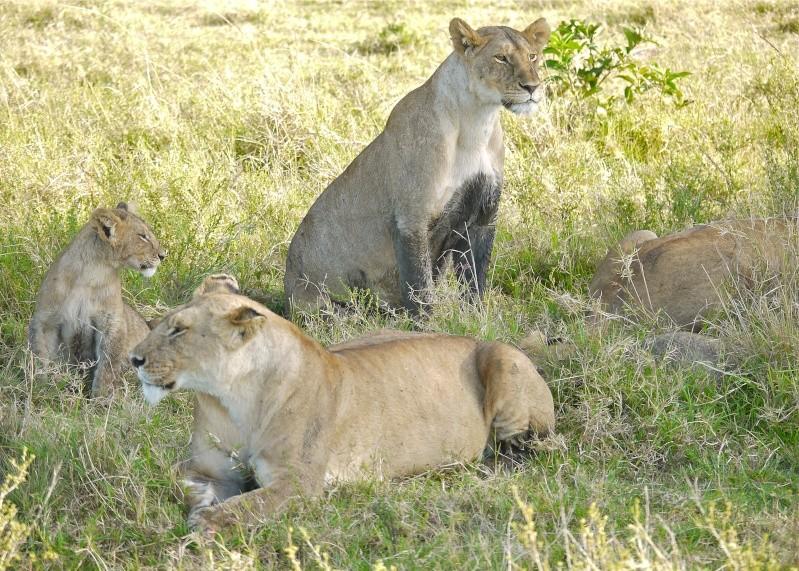 The Marsh Pride, Dec.2012, Masai Mara Kenya P1050912