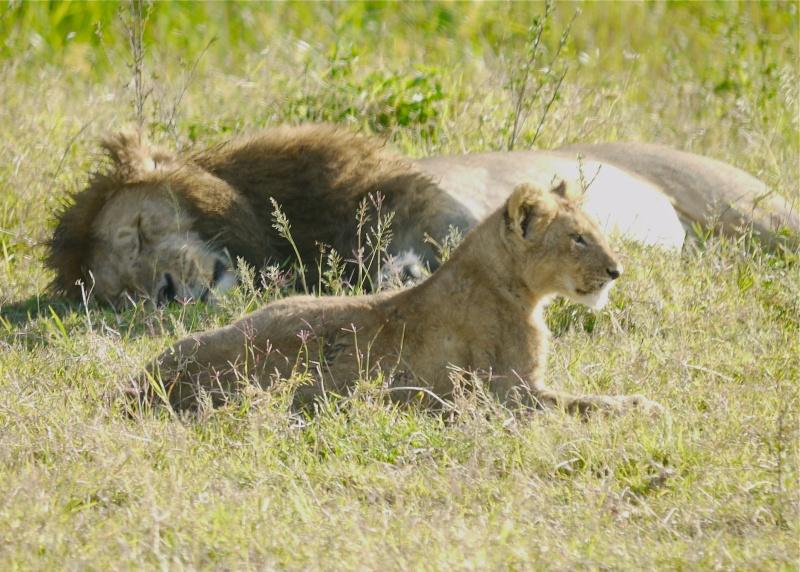 The Marsh Pride, Dec.2012, Masai Mara Kenya P1050913