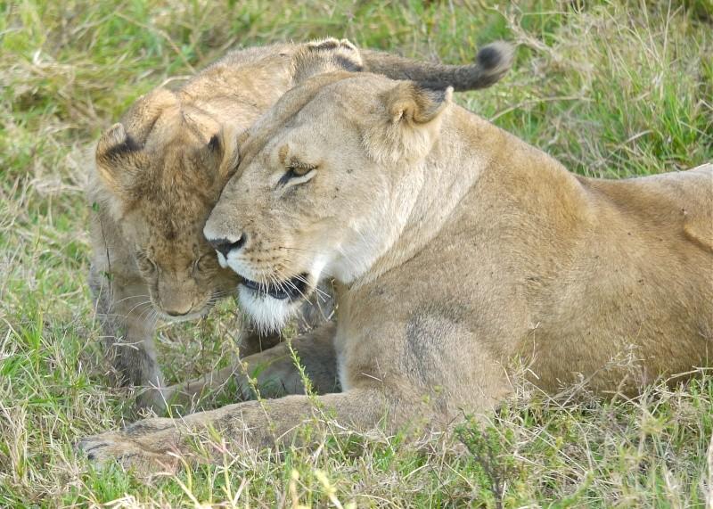 The Marsh Pride, Dec.2012, Masai Mara Kenya P1050914