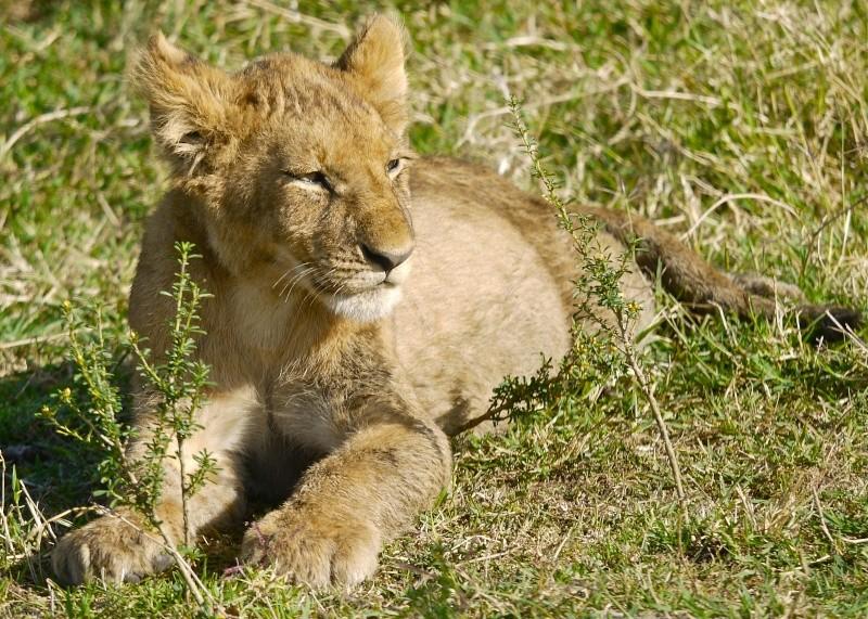 The Marsh Pride, Dec.2012, Masai Mara Kenya P1050916