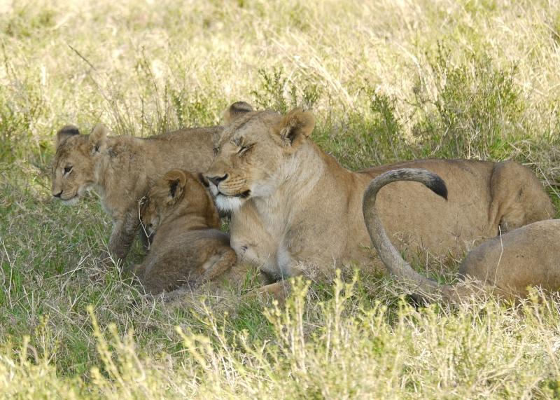 The Marsh Pride, Dec.2012, Masai Mara Kenya P1050917