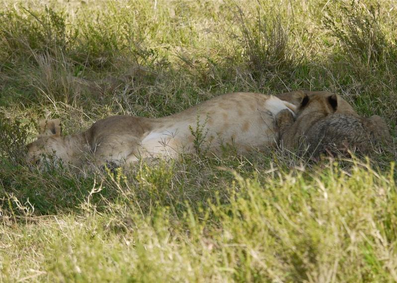 The Marsh Pride, Dec.2012, Masai Mara Kenya P1050918