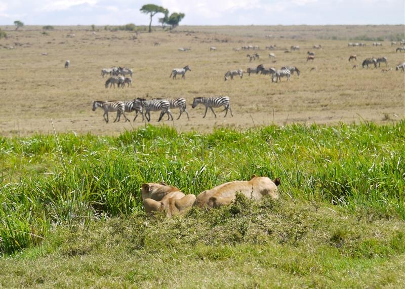 The Marsh Pride, Dec.2012, Masai Mara Kenya P1060010