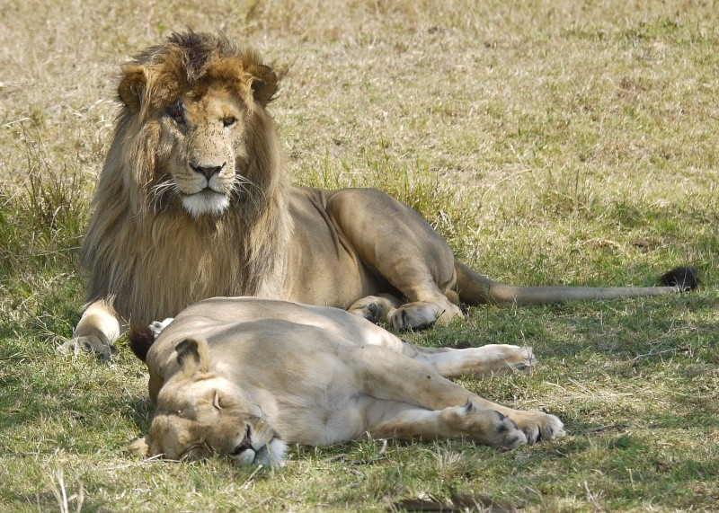 The Marsh Pride, Dec.2012, Masai Mara Kenya P1060011