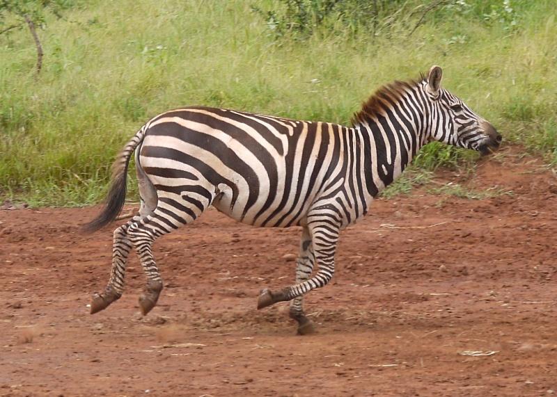 картинка зебра бежит возвращении ночью может