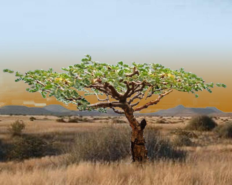 Acacia burkei,  Pierneef Style Acacia10